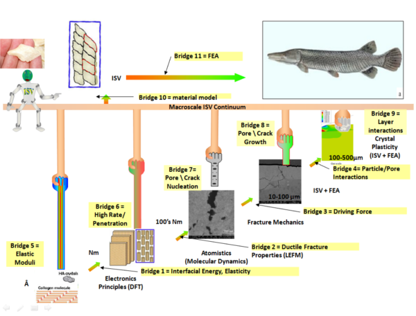 Multiscale modeling diagram for Alligator Gar Fish Scale.